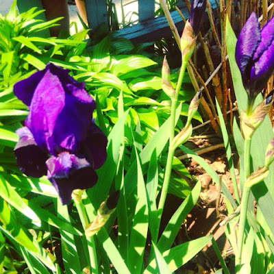 dark purple irises in the late spring garden