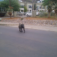 Second of two baboons seen in Gabs. Crossing the street