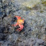 Crab on basalt