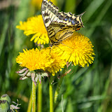 Махаон (Papilio machaon)