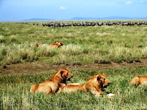Photo: ... ja lisää leijonia