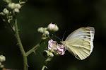 Grønåret kålsommerfugl, napi.jpg