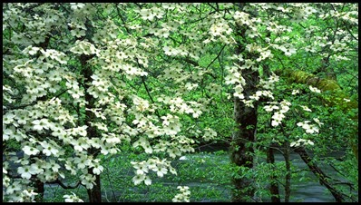dogwood tree3