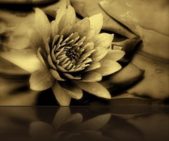 lotus_flower_vintage_color-wide