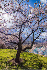 Blossom at Upper Kachura Lake,  Skardu.