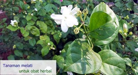 tanaman bunga melati