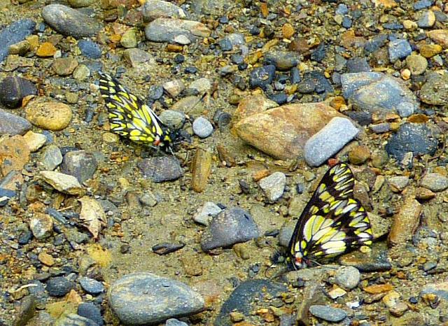 Catasticta chelidonis taminoides Eitschberger & T. Racheli, 1998. Chovacollo, près de Coroico, 1800 m (Yungas, Bolivie), 29 décembre 2014. Photo : Jan Flindt Christensen