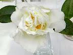 白色 牡丹咲き 散りしべ 極大輪
