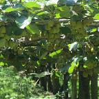 Kiwi - Plantage
