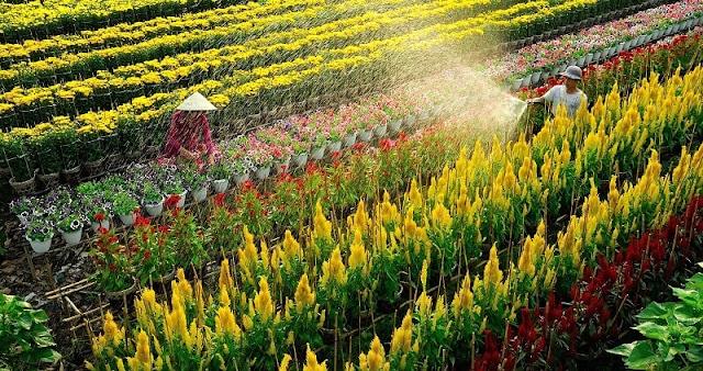 Có nhiều giống hoa được trồng tại làng hoa Sa Đéc