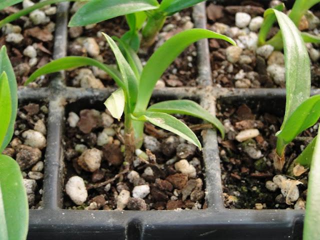 orquidea - DSC02955.JPG