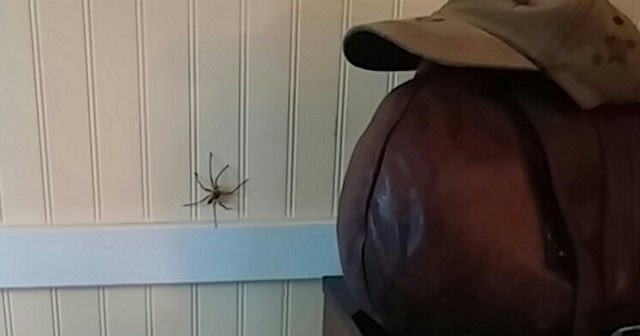 Homesteading In Hawaii Cane Spider
