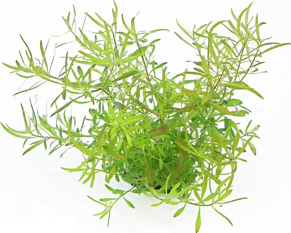 Людвигия дугообразная (Людвигия болотная пестрая) (Ludwigia arcuata)