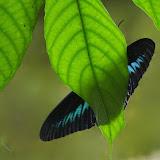 Trogonoptera brookiana brookiana WALLACE, 1855. Poring (Sabah, Malaisie), 31 juillet 2011. Photo : J.-M. Gayman