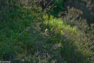 Photo: Grey Wagtail (juvenile) Bluewaters, Healey Nab 22.07.12