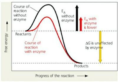 Grafik Reaksi Diperantarai dan Tidak Diperantarai Enzim