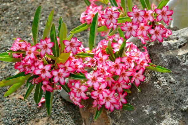 Tanaman Bunga Adenium Untuk Taman Rumah Anda