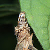 Bag worm or Case moth larva