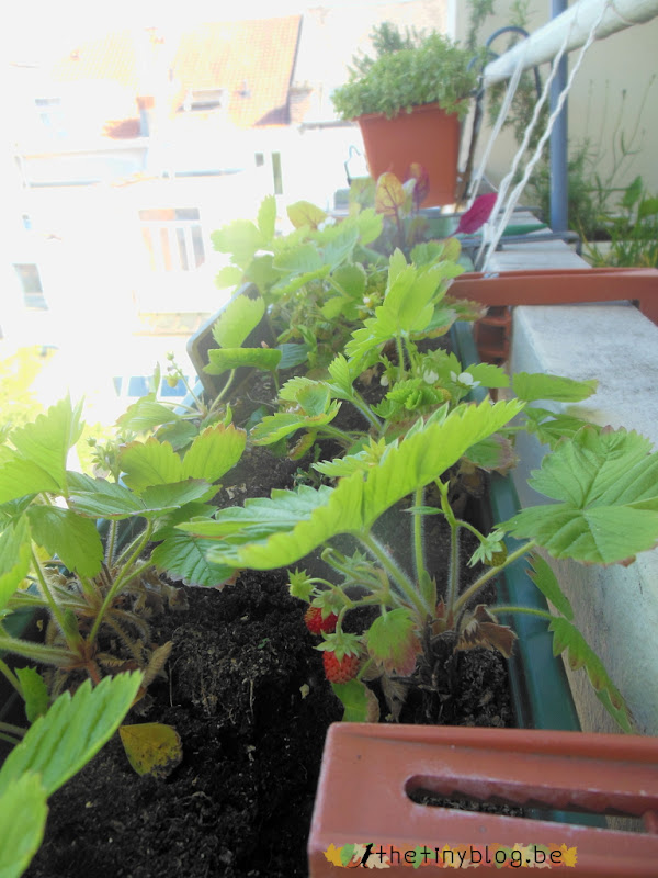 My balcony urban vegetable garden June 2015 in Brussels