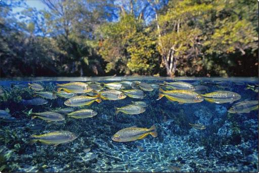 Piraputanga fish in Sucuri River, Brazil.jpg
