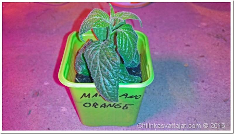 manzano_orange