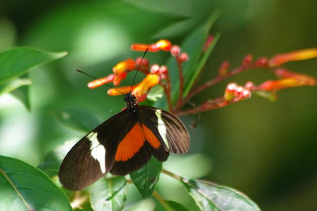 Heliconius clysonymus montanus Salvin, 1871. Hornito (Chiriquí, Panamá), 28 octobre 2014. Photo : J.-M. Gayman