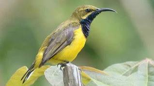 Cara Merawat Burung Sogon Hasil Ombyokan Agar Cepat Jinak