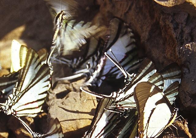 Leptocircini : Protesilaus glaucolaus leucas ROTHSCHILD & JORDAN, 1906 (au centre) : large zone apicale transparente (AA) et bande rouge à l'extérieur de la bande noire (AP, revers). Rive de la Tambopata, TRC, août 2004. Photo : J.-M. Gayman