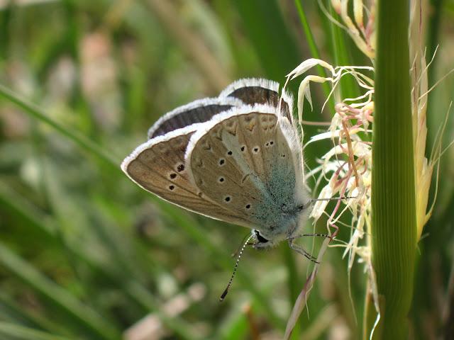 Agrodiaetus juldusus STAUDINGER, 1886. Vallon (2300 m) de Kadzi Say (Kyrgyzistan), 14 juillet 2006. Photo : J. Michel