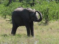 Mud-wallowing! - Linyanti Concession (Chobe Region)