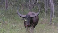 The last stand! This bull is mortally wounded.