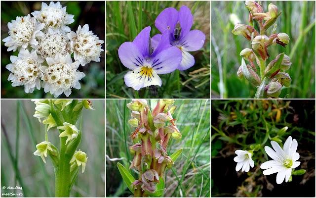 Bucegi-flori-iulie-rw.jpg