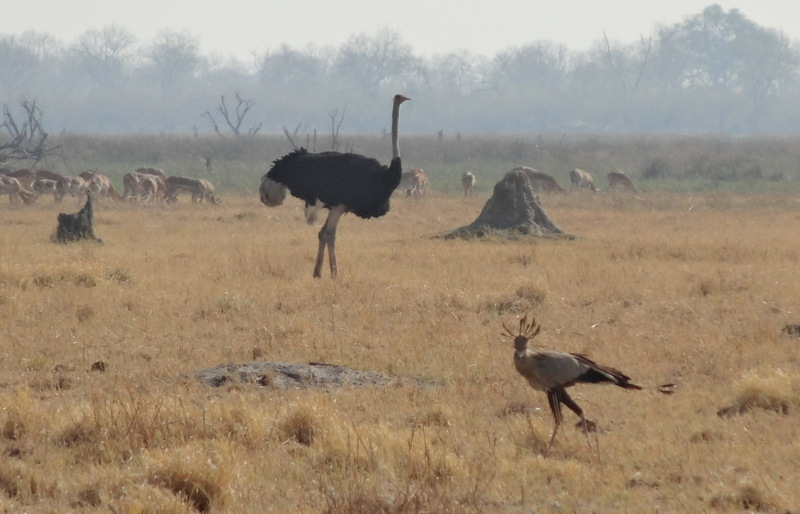 An ostrich and a secretary bird
