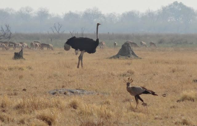 An ostrich and a secretary bird