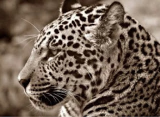 kisah jaguar ditembak mati setelah tampil di penyalaan obor olimpiade