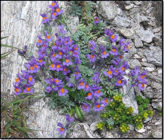 2319-Alpine-Toadflax-Linaria-alpina