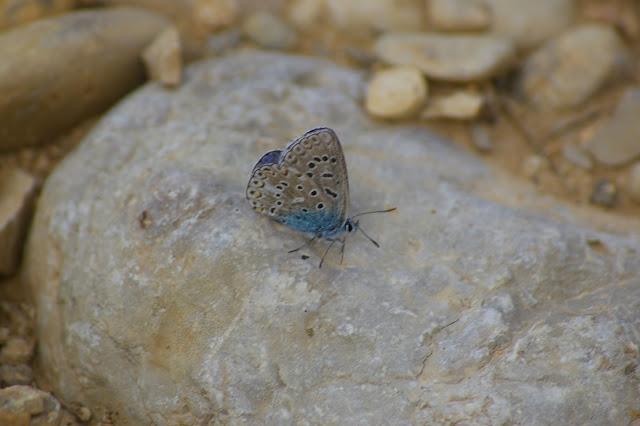 Polyommatus icarus ROTTEMBURG, 1775, mâle. Brunet (Alpes-de-Haute-Provence), 12 juin 2008. Photo : J.-M. Gayman