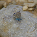 Polyommatus (Lysandra) bellargus (Rottemburg, 1775), ♂. Brunet (Alpes-de-Haute-Provence), 12 juin 2008. Photo : J.-M. Gayman