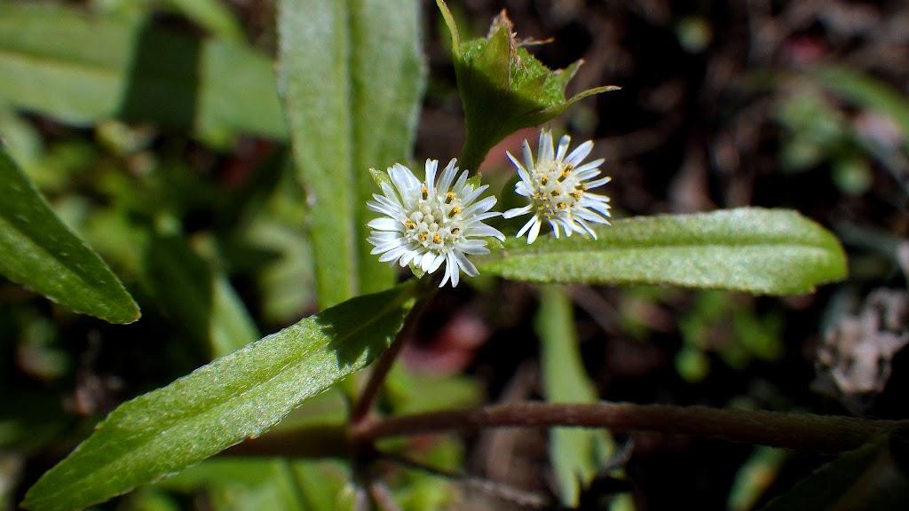 アメリカタカサブロウの花2
