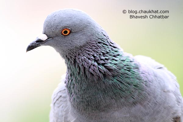 Pigeons are beautiful too. A parent female pigeon posing nicely for her photo session.