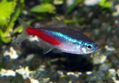 true wild life tetra the tetra is a small and colourful fish native to ...