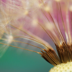 Gathered by Janet Herman - Nature Up Close Other plants ( dandelion, nature, weed, plants, seeds, seed-head )