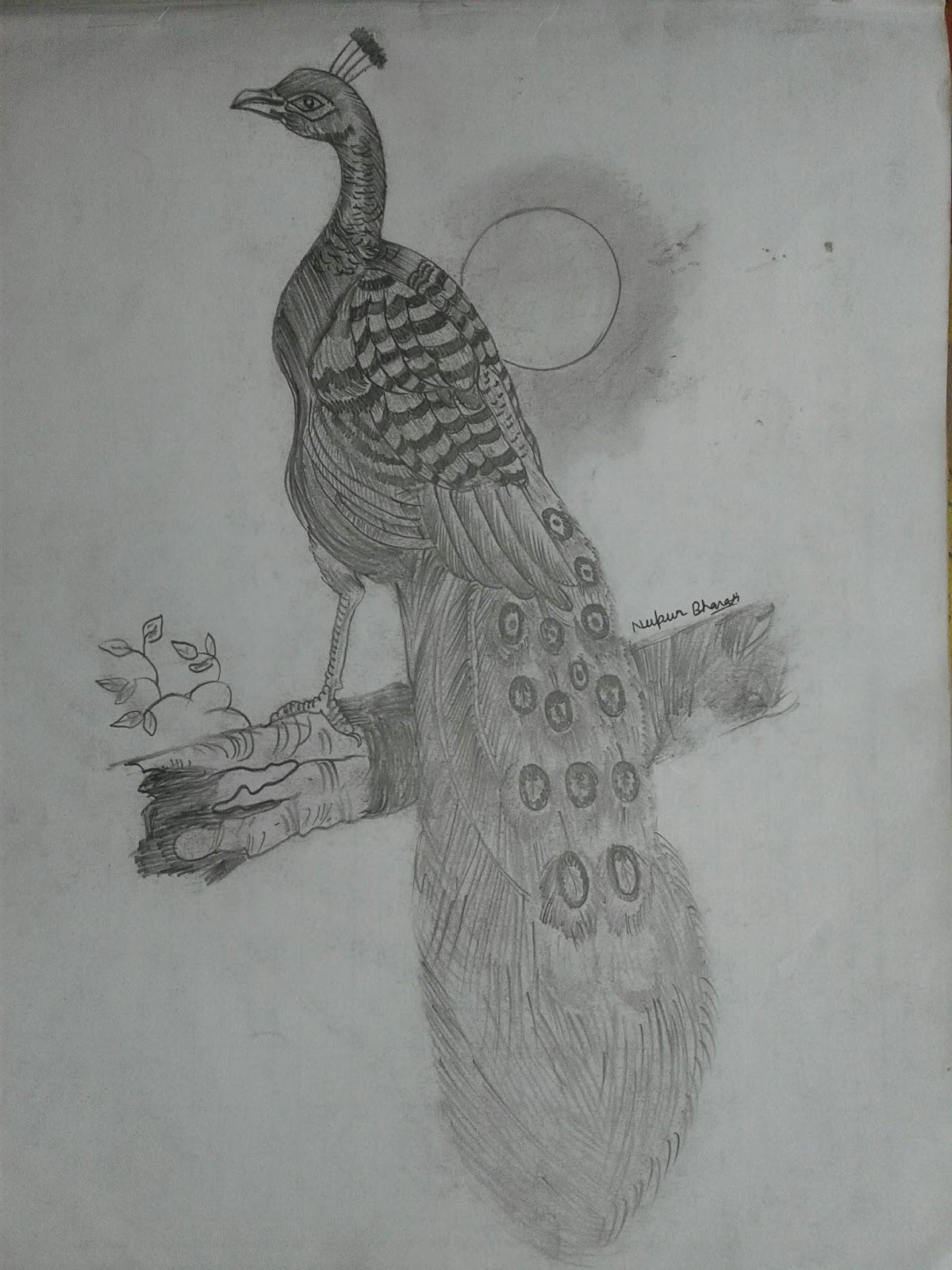Sketching of peacock