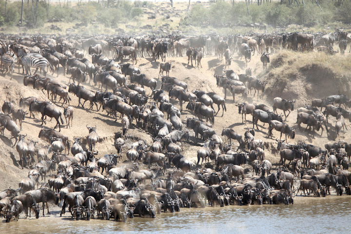 Great Migration, Wildebeest on Mara River, Maasai Mara National Reserve, Kenya