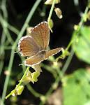 Cacyreus marshalli.jpg