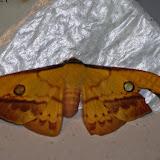 Saturniinae : Copaxa syntheratoides Rothschild, 1895, femelle. Mount Totumas, 1900 m (Chiriqui, Panamá), 20 octobre 2014. Photo : J.-M. Gayman
