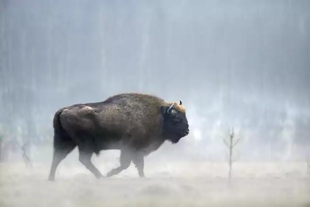 extinct in 2021-bison