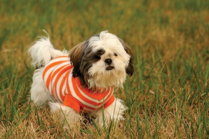 Giống chó Shih Tzu. Giá chó Shih Tzu và địa chỉ bán Shih Tzu ở Hà Nội và TPHCM