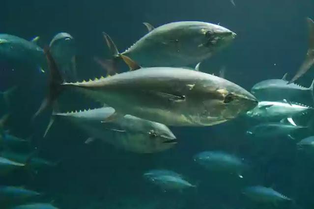 extinct in 2021-bluefin tuna