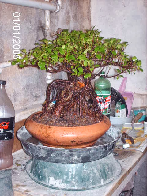 Ficus Microcarpa do Roberto Teixeira... PICT1701